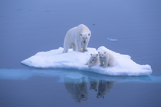 endangerd species Polor bear