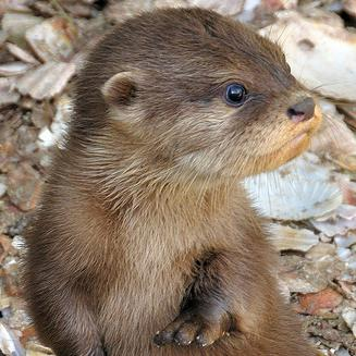 Baby river otter home