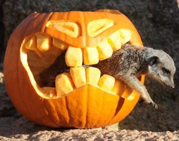 meerkat halloween